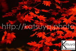 椛の葉(もみじのは) 紅葉